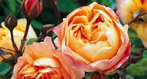 Queen of flowers: unique rose cultivars and cult classics