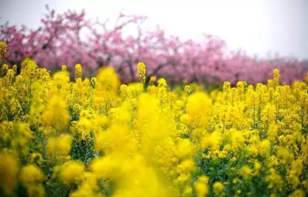 Guides to enjoy spring in Sheshan
