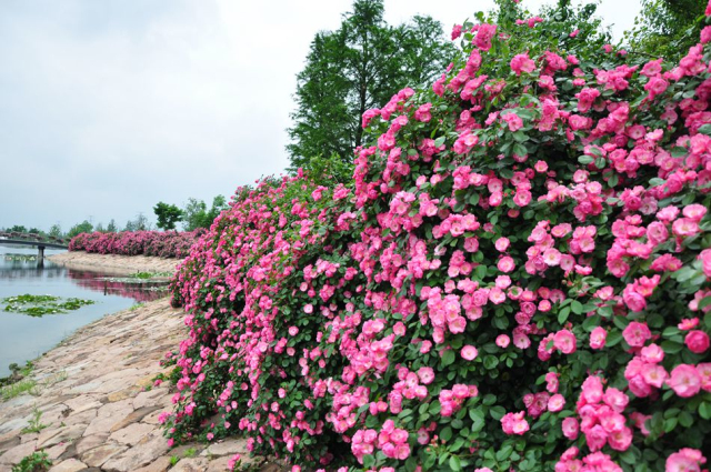 Amazing Chinese rose wall in Chenshan dazzles visitors