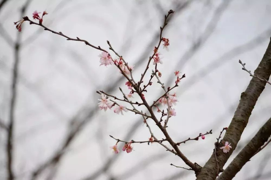 Cherry Blossoms bring spring to Sheshan