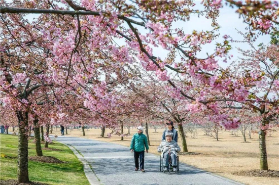 Sheshan cherry boulevard becomes a pink world