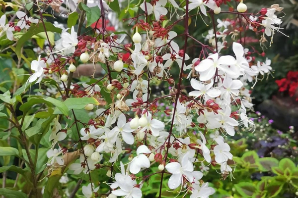 Thai jasmine makes debut in Chenshan Botanical Garden