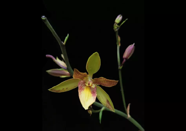 Chenshan cultivated orchid certified by Royal Horticultural Society